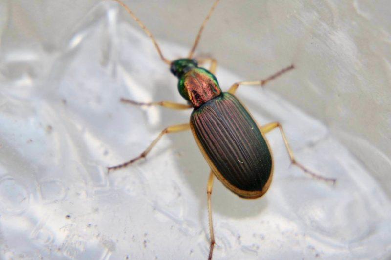 オオキベリアオゴミムシ
