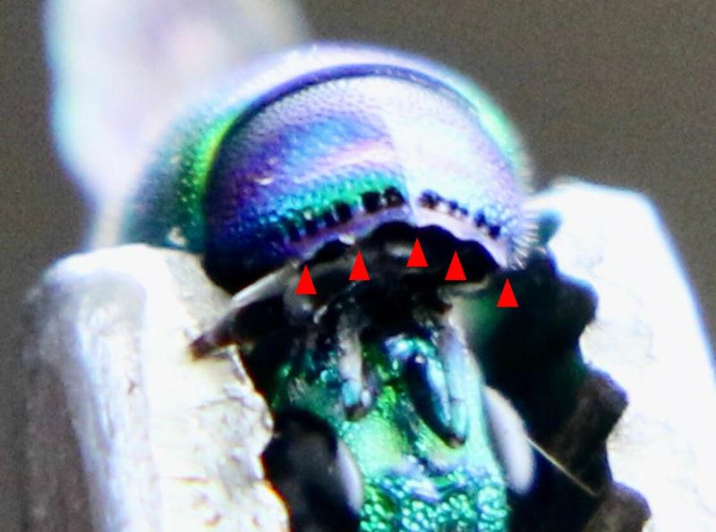 ミドリセイボウのお尻の突起は5歯