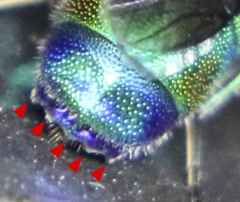 ミドリセイボウのお尻の突起は5つ