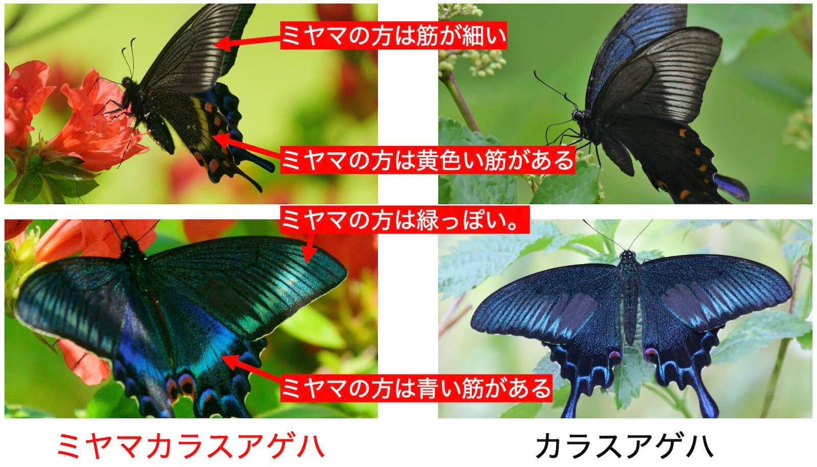 ミヤマカラスアゲハ〜碧(へき)と翠(みどり)の競演。カラスアゲハとの違いも